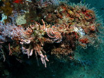 Fire worm on a Reef Stock Photography