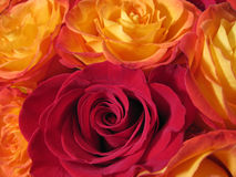 Fire yellow roses Stock Photo