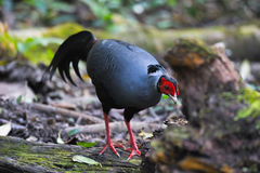 Fireback pheasant Stock Images