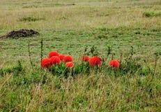 Fireball Lilies on the Masai Mara Royalty Free Stock Photos