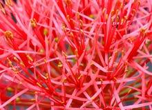 Fireball lily Stock Photos