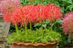 Free Fireball Lily Flower Stock Photo - 59629510