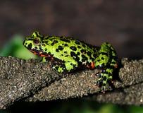 firebellied фарфором жаба oriental зеленого цвета лягушки Стоковые Изображения RF