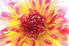 Firebird-Dahlie Lizenzfreies Stockfoto