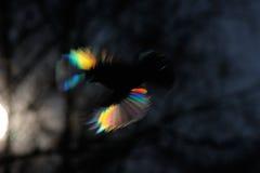 Firebird, wie ist Lizenzfreies Stockbild