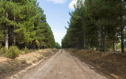 Firebreak between pines Royalty Free Stock Photo