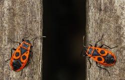 firebug Κόκκινα firebugs, apterus pyrrhocoris Στοκ εικόνες με δικαίωμα ελεύθερης χρήσης