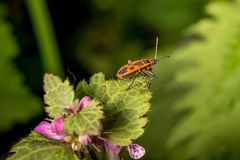 Firebug στην άκρη του φύλλου Στοκ Εικόνες