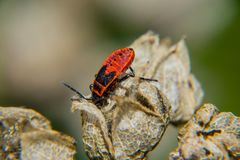 firebug Royaltyfri Bild