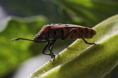 firebug Стоковое Изображение