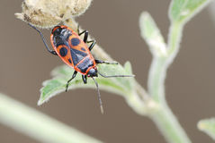 Firebug Royalty Free Stock Photos