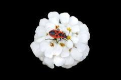 Firebug arkivfoton