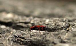 Firebug Fotografia Stock Libera da Diritti