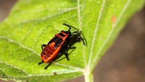 firebug Foto de Stock Royalty Free