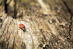 firebug Fotos de Stock Royalty Free