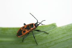 Firebug. Closeup of a firebug sitting on a leaf Royalty Free Stock Photos