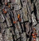 Firebug, apterus de los pyrrhocoris Imagen de archivo
