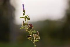 Firebug (apterus de Pyrrhocoris) Imagenes de archivo