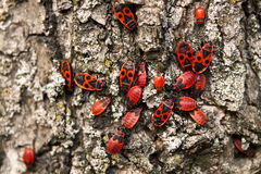 Firebug, apterus di pyrrhocoris Fotografia Stock Libera da Diritti
