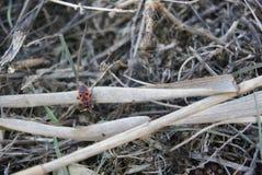 Firebug, apterus di pyrrhocoris Immagine Stock