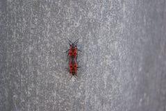 Firebug, apterus di pyrrhocoris Fotografie Stock Libere da Diritti