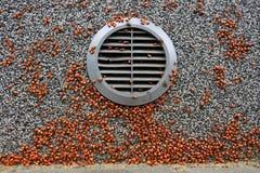 Firebug, apterus embotado de Pyrrhocoris del herrero, ninfa de la invasión de insectos en la pared del edificio Foto de archivo libre de regalías