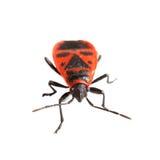 Firebug (apterus Pyrrhocoris) που απομονώνεται στο λευκό Στοκ Φωτογραφίες