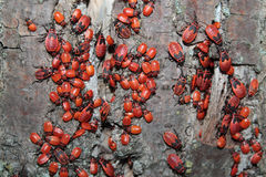 Firebug (apterus Pyrrhocoris) Στοκ εικόνα με δικαίωμα ελεύθερης χρήσης