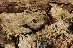 Firebug (apterus Pyrrhocoris) Στοκ Εικόνα