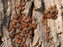 Firebug - apterus Pyrrhocoris Στοκ Φωτογραφία