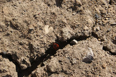 Firebug, apterus pyrrhocoris Στοκ φωτογραφία με δικαίωμα ελεύθερης χρήσης