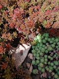 Firebug on a bed of different succulents Royalty Free Stock Images