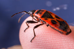 Firebug on a boy's finger Royalty Free Stock Photography