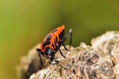 Firebug che si alimenta il fiore della malva Fotografie Stock
