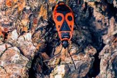 Firebug contro la macro della roccia Fotografie Stock