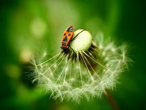 Firebug on dandelion stock photography
