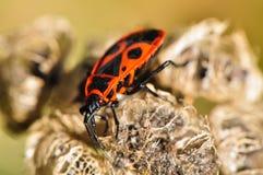 Firebug die een bloem onderzoeken Stock Fotografie