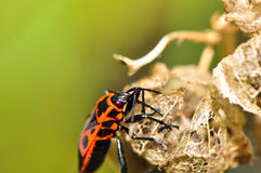 Firebug on a dried flower. Firebug on the dried capsule of the willow flower Stock Image