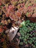 Firebug em uma cama de plantas carnudas diferentes imagens de stock royalty free