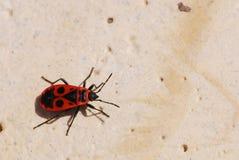 Firebug (eterotteri di pyrrhocoris) Fotografia Stock Libera da Diritti