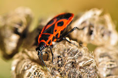 Firebug exploring a flower Stock Photography