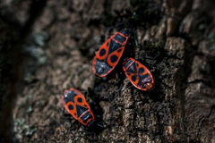 Firebug family Stock Photography