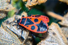Firebug. Adult and nymf Royalty Free Stock Photo