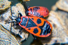 Firebug. Adult and nymf Royalty Free Stock Photography