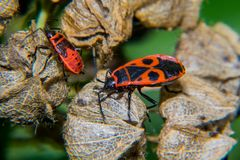 Firebug. Adult and nymf Stock Images