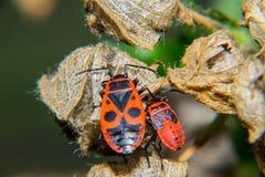 Firebug. Adult and nymf Royalty Free Stock Image