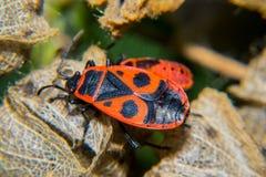 Firebug. Adult and nymf Stock Photos