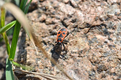 The firebug. On the garden stone and grass Stock Photography