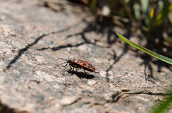 The firebug. On the garden stone and grass Royalty Free Stock Images