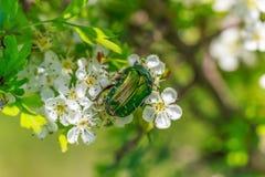 Firebug,glowworm. Firebug on beautiful spring flowers Stock Image